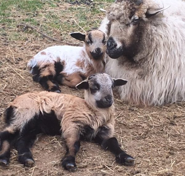 sheepbabies